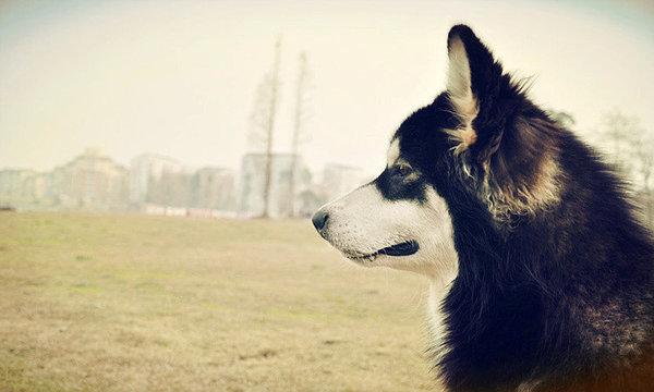 阿拉斯加雪橇犬的购买经验