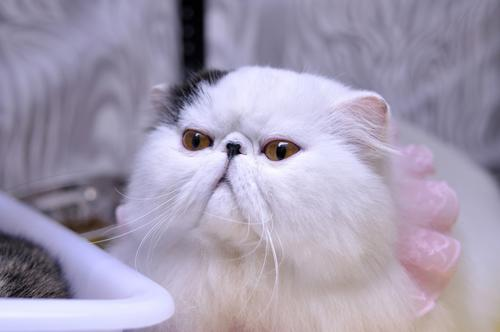 波斯貓好看卻不好養,飼養注意事項