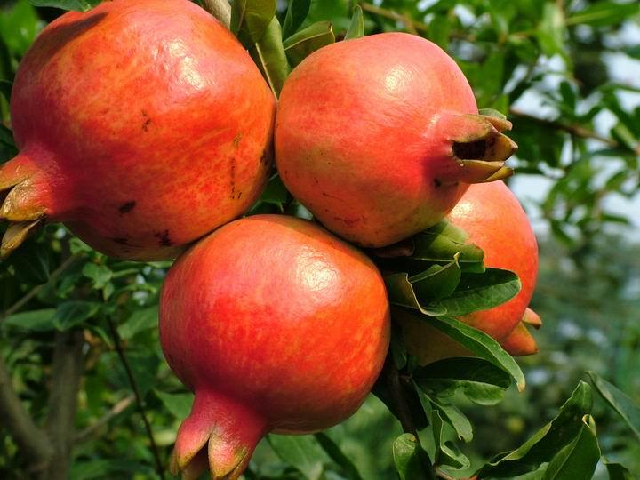 秋天抗氧化美容最佳水果——石榴