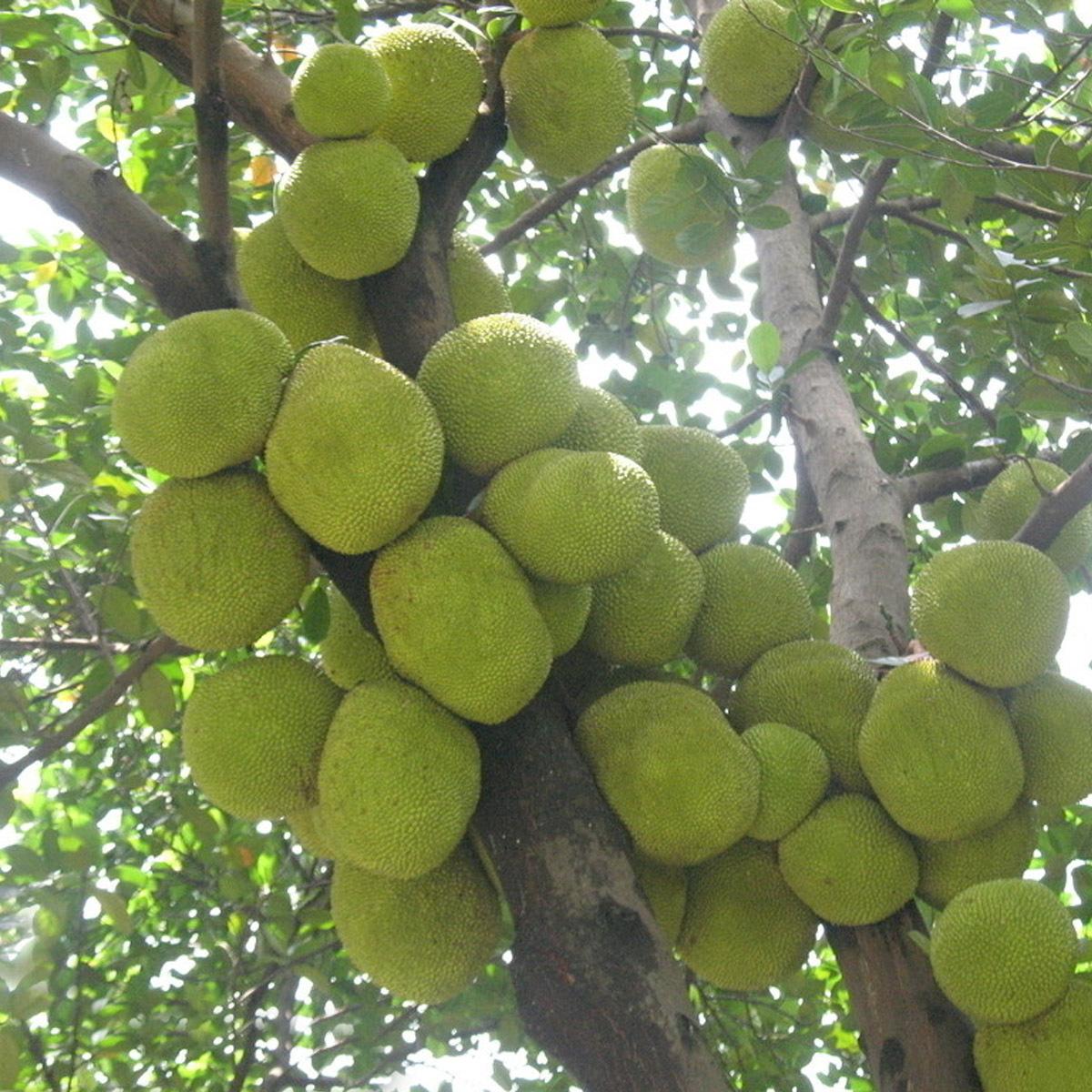世界上最大的水果——菠蘿蜜