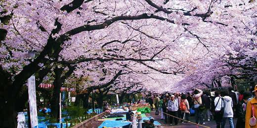 沉醉在日本櫻花雨中