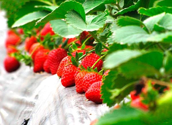 草莓季教你妳如何挑草莓