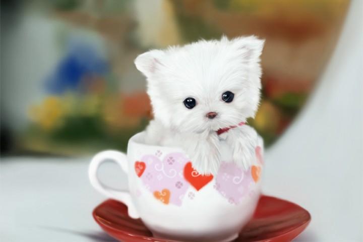 茶杯犬飼養注意事項