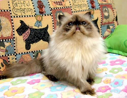 喜馬拉雅貓飼養手冊