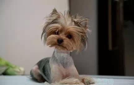 狗狗剃毛有講究