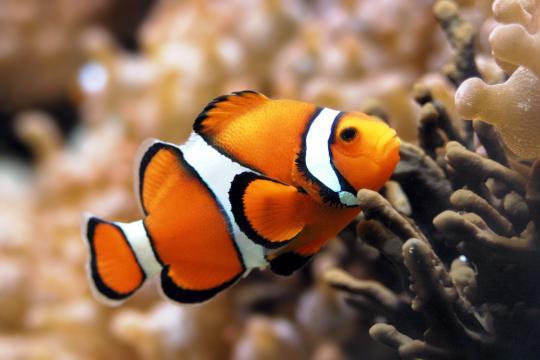 新手如何飼養小丑魚