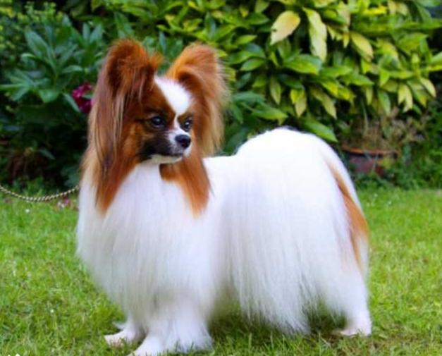 養條貌美溫柔的蝴蝶犬