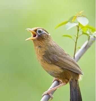 畫眉鳥飼養注意事項
