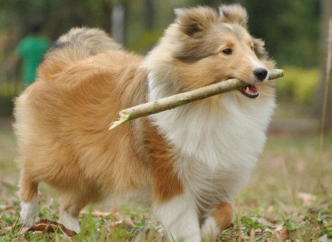 聰明伶俐的喜樂蒂犬飼養注意事項
