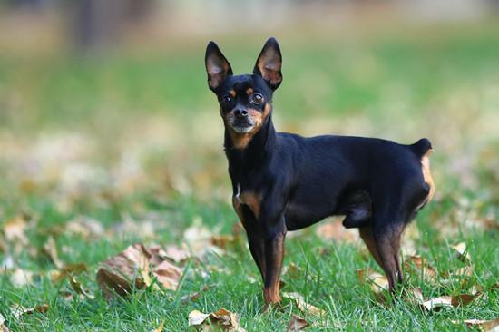 飼養杜賓犬的注意事項