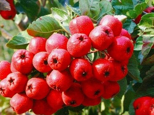 立秋养生水果推薦