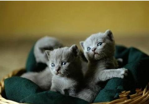 俄羅斯藍貓選購飼養注意事項