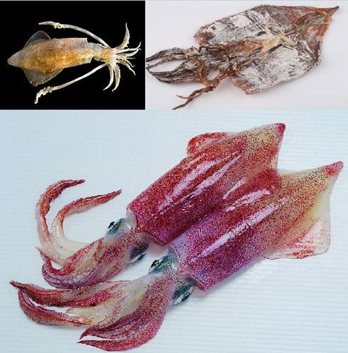 圖解魷魚、墨魚和章魚之間區別
