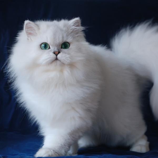 金吉拉貓飼養注意事項