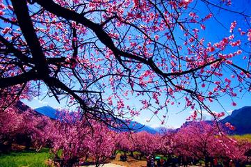 雪域歸來,桃花看遍,心清氣爽