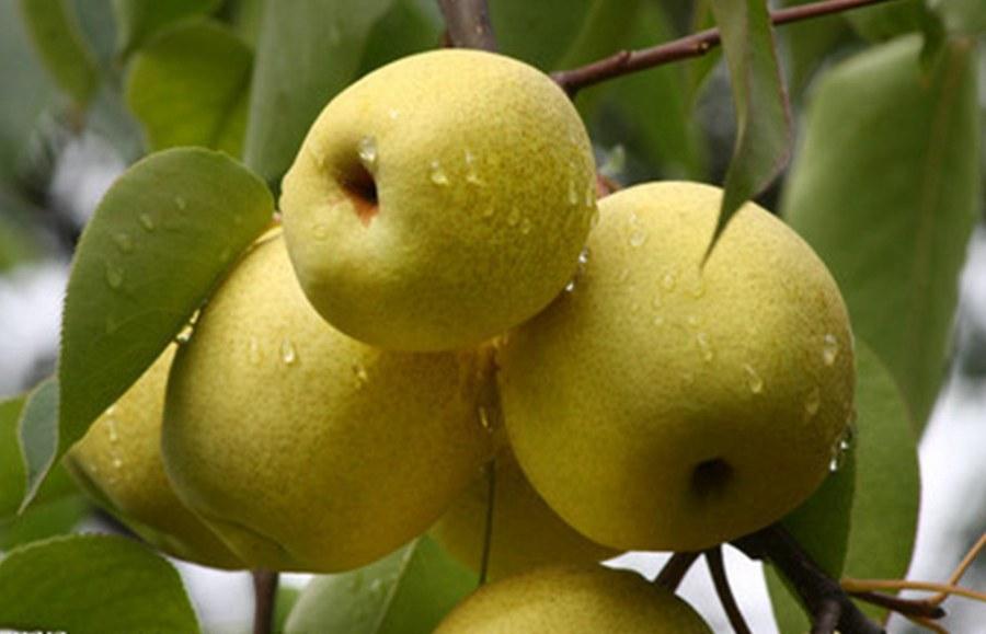 秋季養肺多吃梨