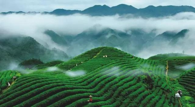 中國茶揚帆出海,香飄非洲